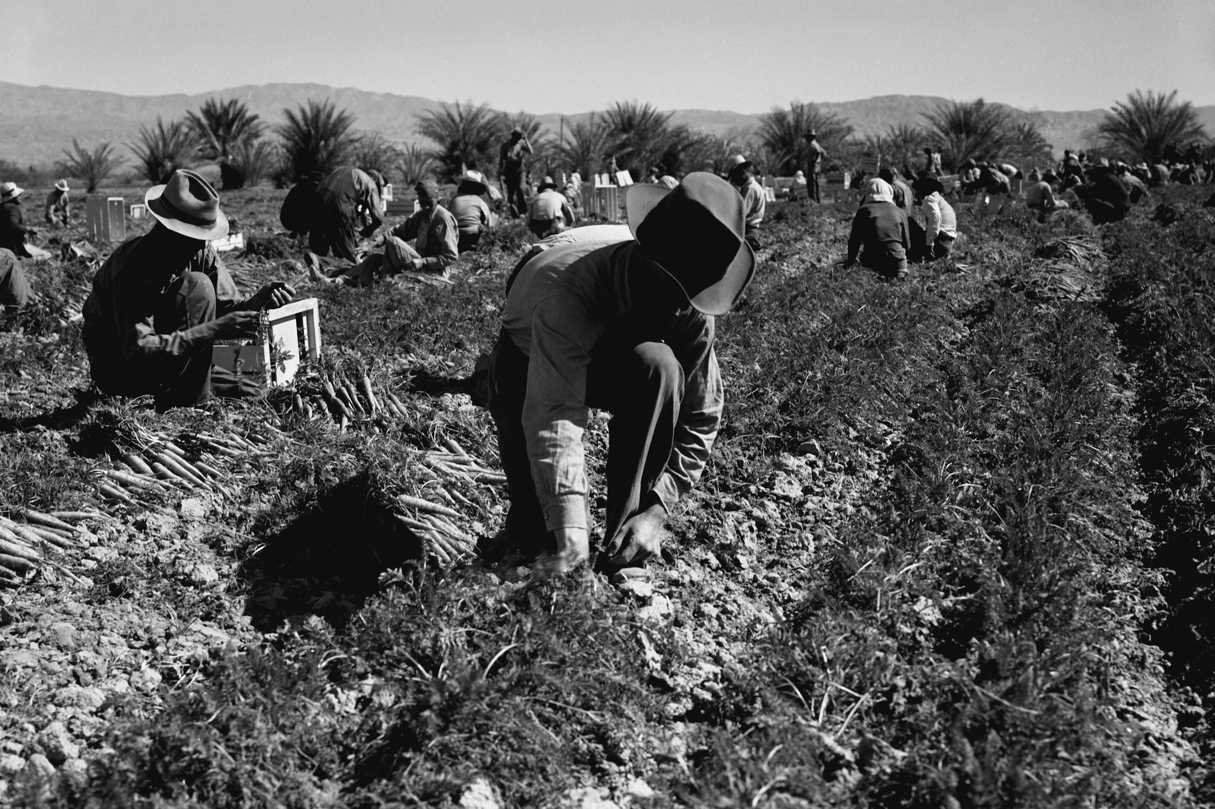 Carrot pullers from Texas, Oklahoma, Missouri, Arkansas and Mexico, at work in California in 1937