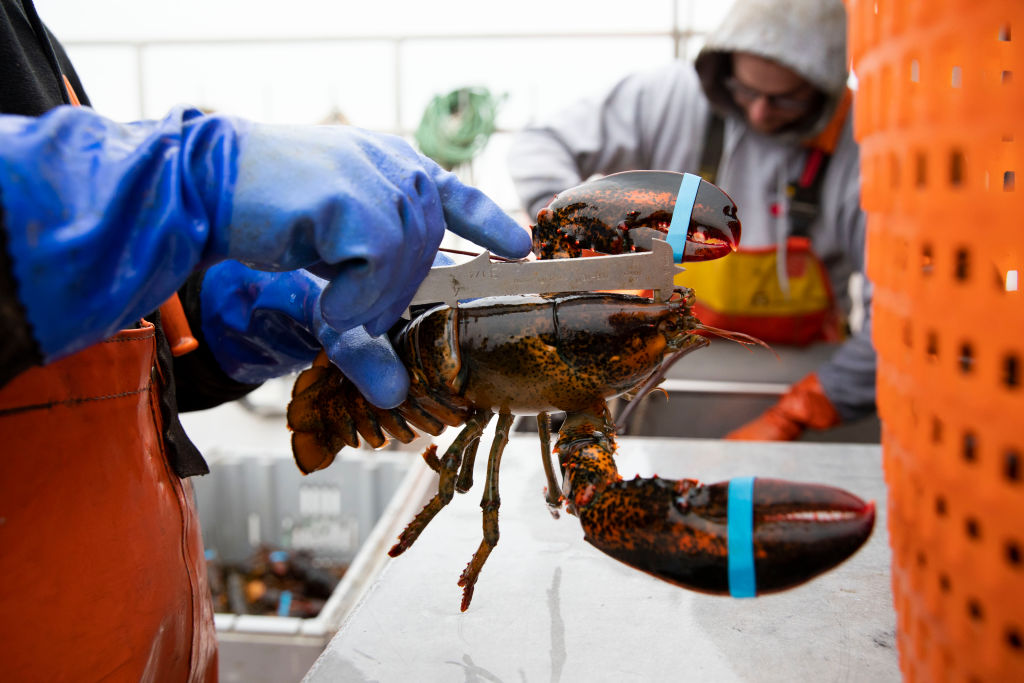 A lobsterman measures the size of a lobster on a lobster boat at a dock in Stonington, Maine, on Feb. 4, 2020.