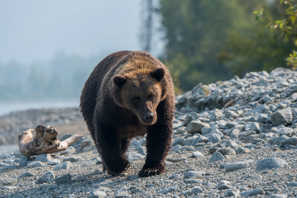 A brown bear (Ursus arctos) is walking and looking for salmon on a beach along the shore of Lake Crescent in Lake Clark National Park and Preserve, Alaska.