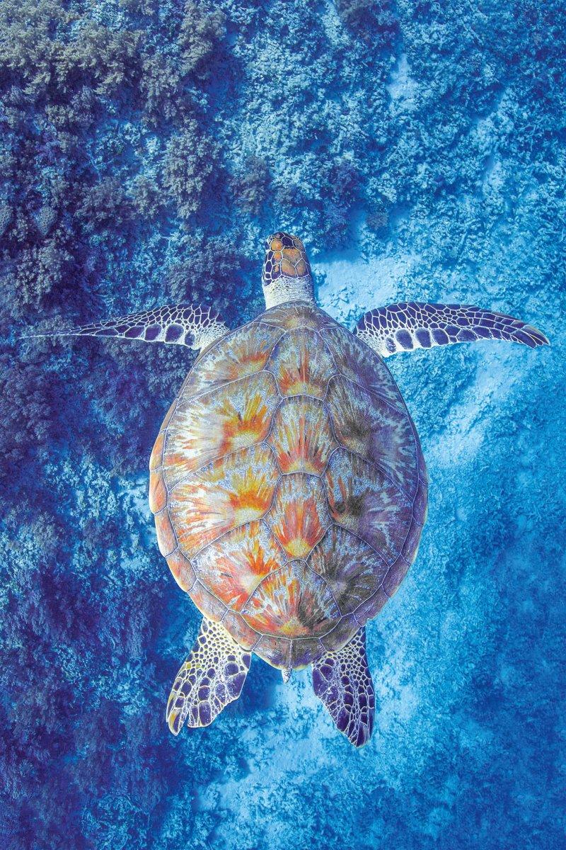 A sea turtle surveys the reefs surrounding the Gili Islands inIndonesia.