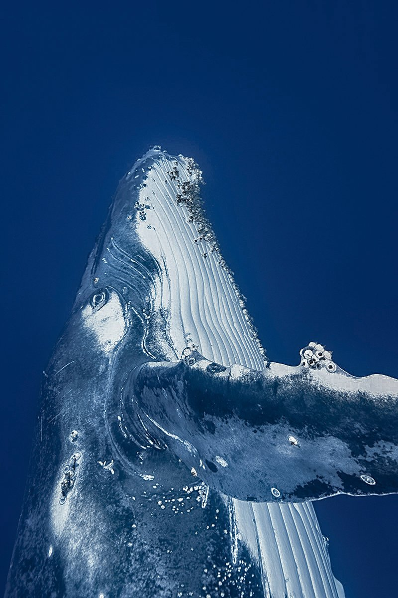 Marine protected areas offer shelter to animals like this humpback whale near the eastern Solomon Islands.