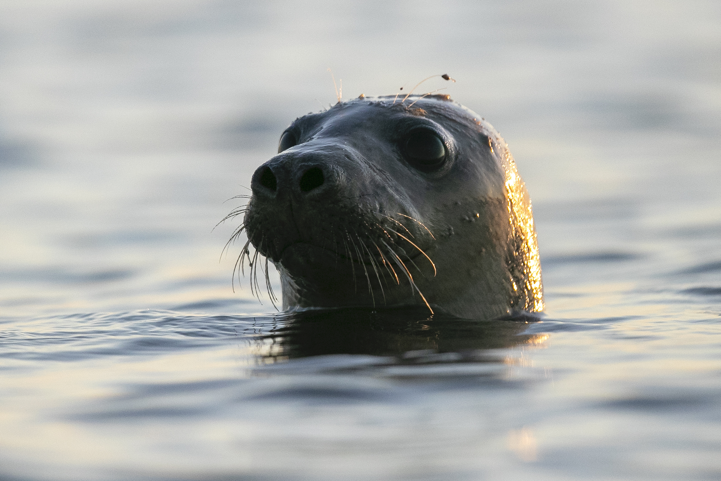 A seal pokes his head out of the water in Casco Bay, on July 30, 2020, off Portland, Maine.