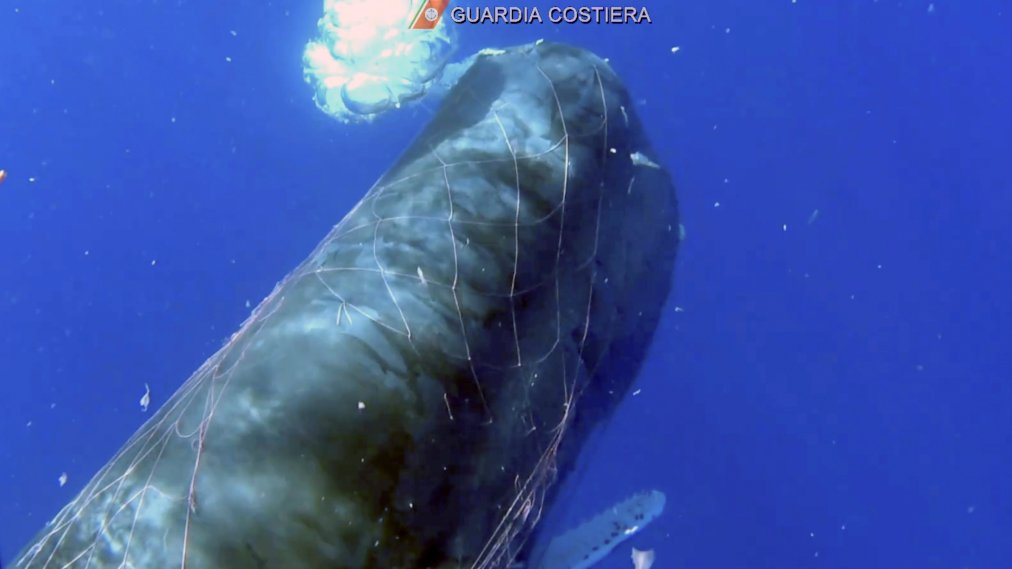 Italian Coast Guard Works to Free Sperm Whale Trapped in Fishing Net