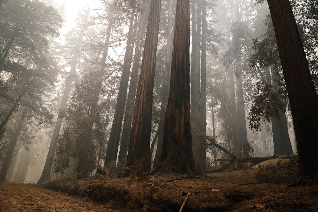 Redwood trees line the entrance of the Big Basin Redwoods State Park Headquarters & Visitor Center in Boulder Creek, Calif., on Thursday, Aug. 20, 2020. Some of the trees sustained damage during a fire that has devastated the area in recent days.