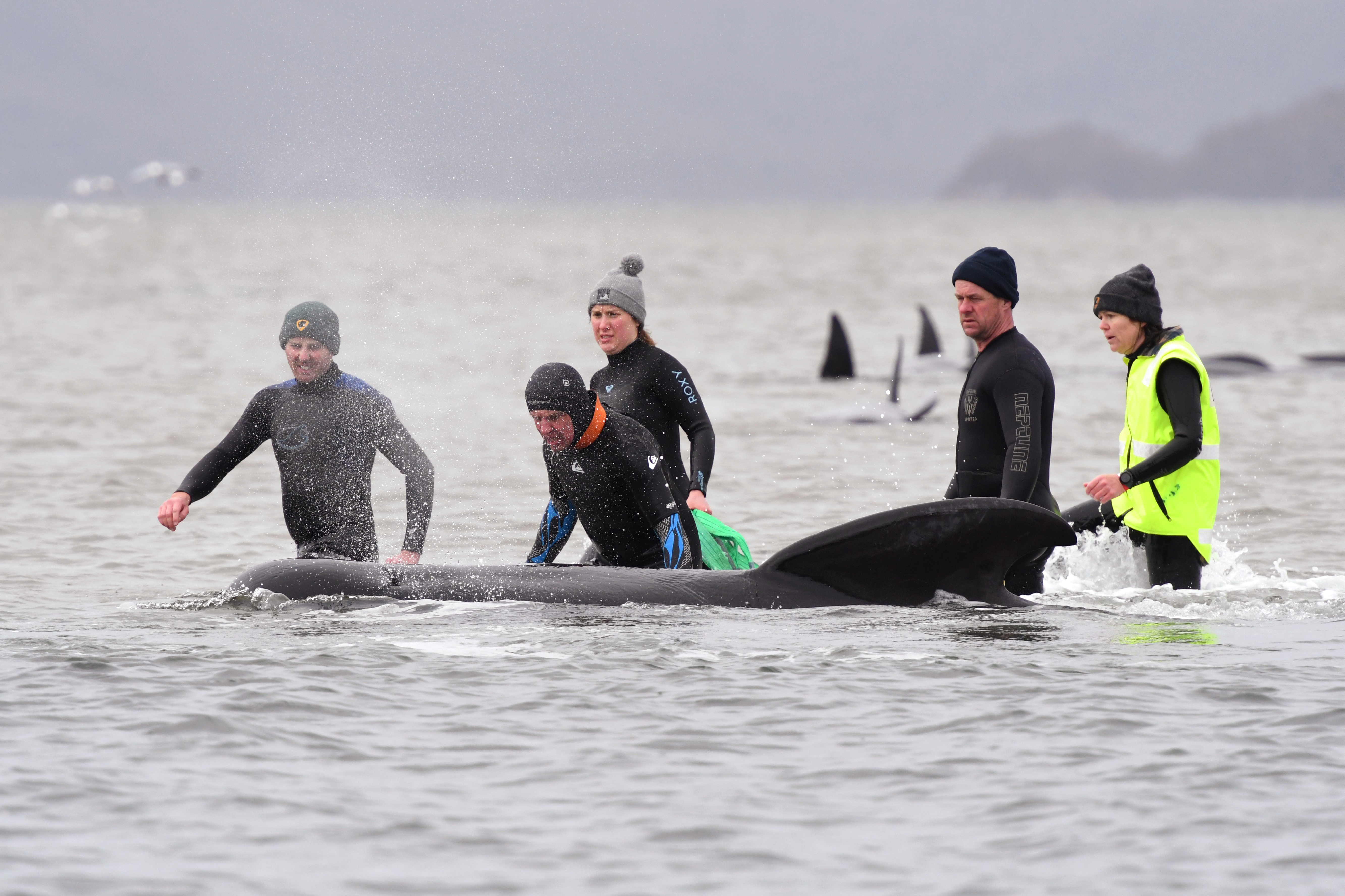 In this Sept. 22, 2020, file photo, members of a rescue crew stand with a whale on a sand bar near Strahan, Australia.