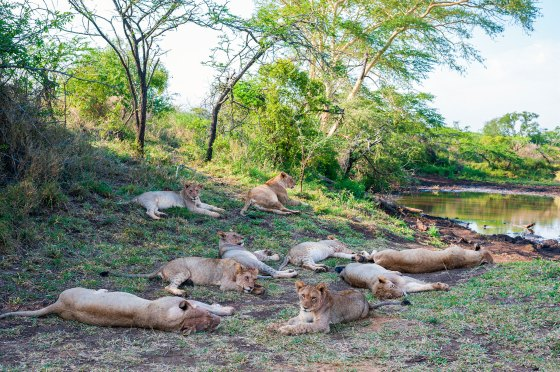 A pride of lions at Thanda Safari Lodge, a 14 000-hectare