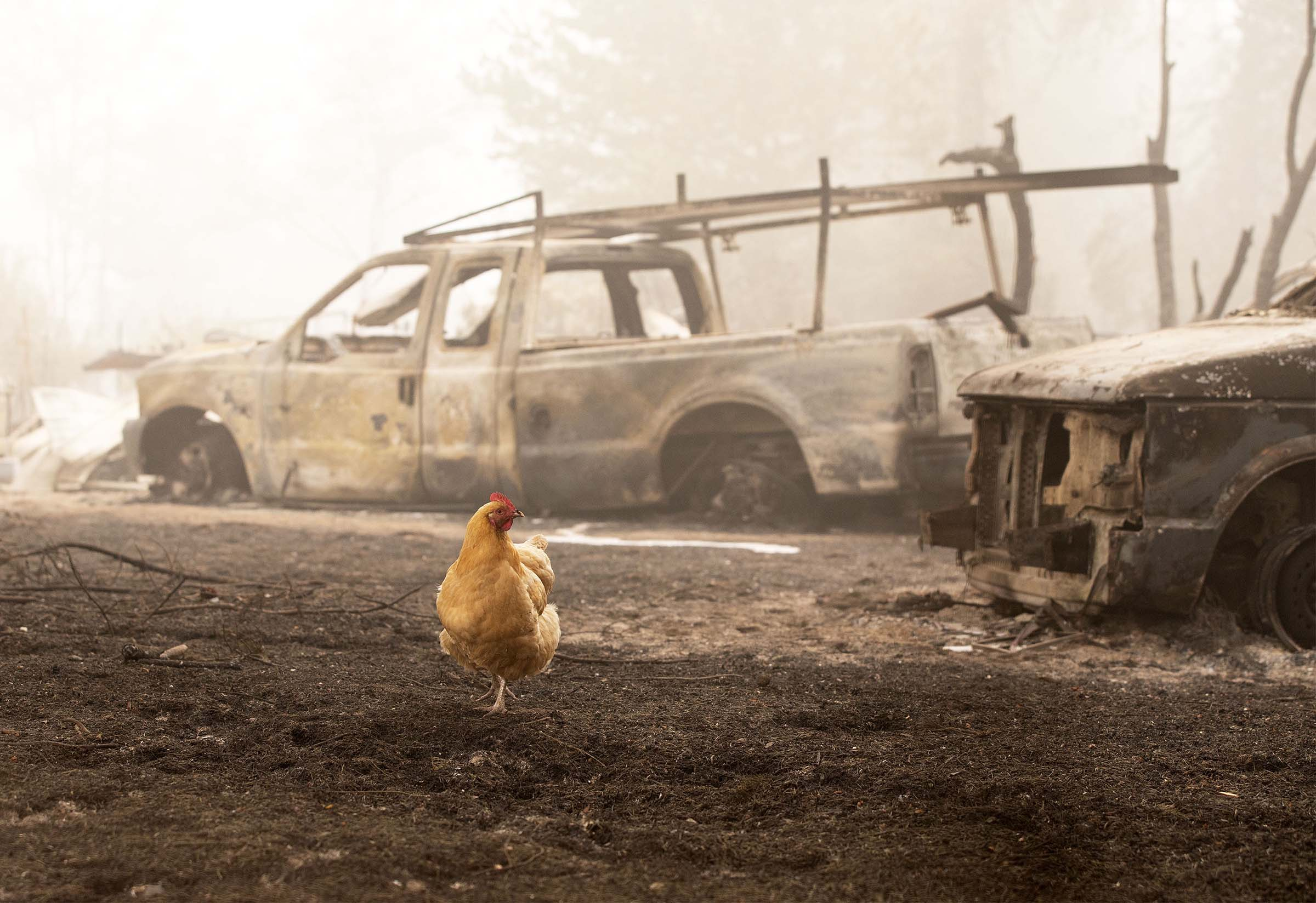 A chicken wanders through charred remains from the Beachie Creek Fire in Lyons, Oregon on Sep. 13, 2020.