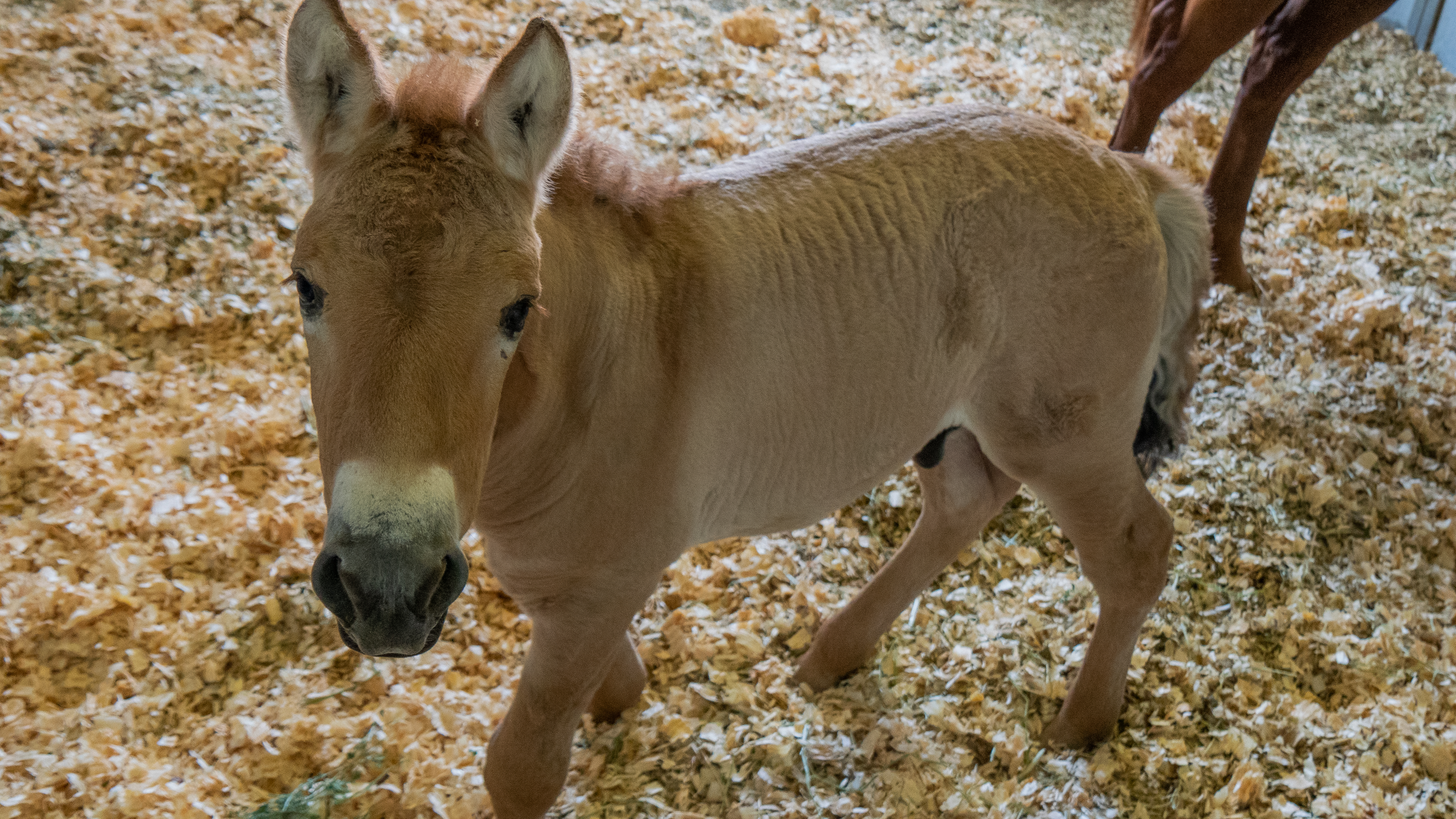 The cloned Przewalski's foal at the Texas                      veterinary facility of ViaGen Equine collaborator, Timber Creek Veterinary, on Aug. 28.