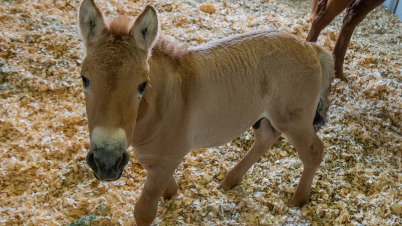 First Clone of Endangered Przewalski's Horse Born in Texas in Effort to Save Species