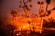 The wind whips embers from the Joshua trees burning in the Bobcat Fire in Juniper Hills, Calif., Friday, Sept. 18, 2020.