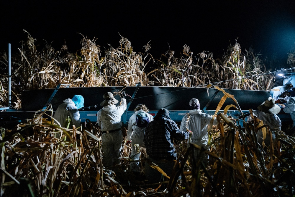 Workers pick corn in the pre-dawn hours to avoid the heat of the day in California's San Joaquin Valley on Aug. 21, 2020.
