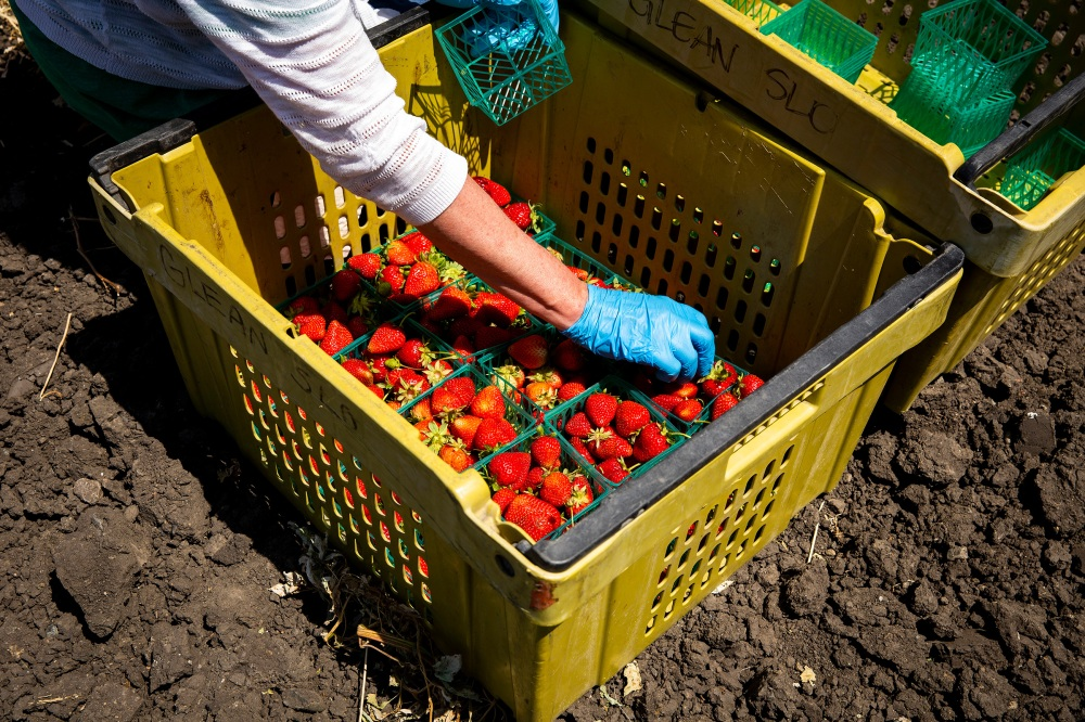 A volunteer with GleanSLO organizes strawberries in a bin at a farm in San Luis Obispo, Calif., on June 4, 2020. Before the pandemic, GleanSLO volunteers typically gleaned from backyard fruit trees—now they visit farms.