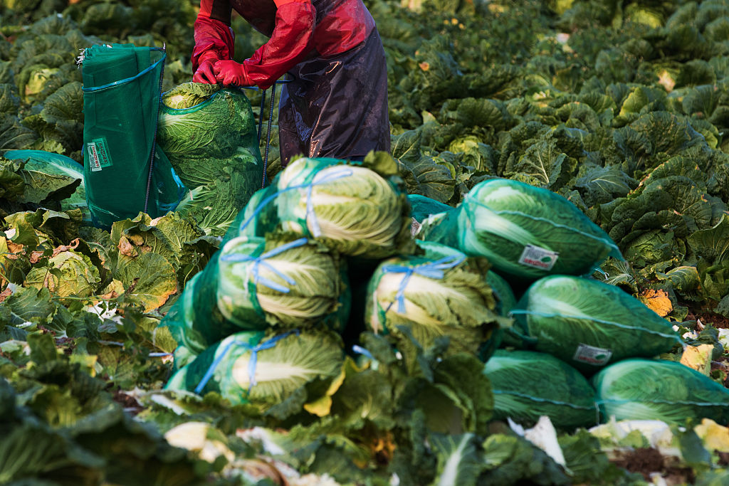 A worker harvests napa cabbages in a field in Taebaek, South Korea, on Monday, Aug. 31, 2015.