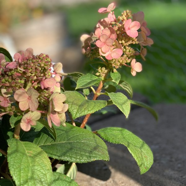 Ellis's Hydrangea, pictured at the end of summer