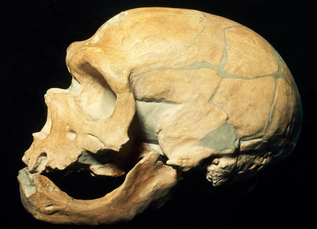 Neanderthal skull (Homo Sapiens Neanderthalensis) at the Museum of Natural History in Milan