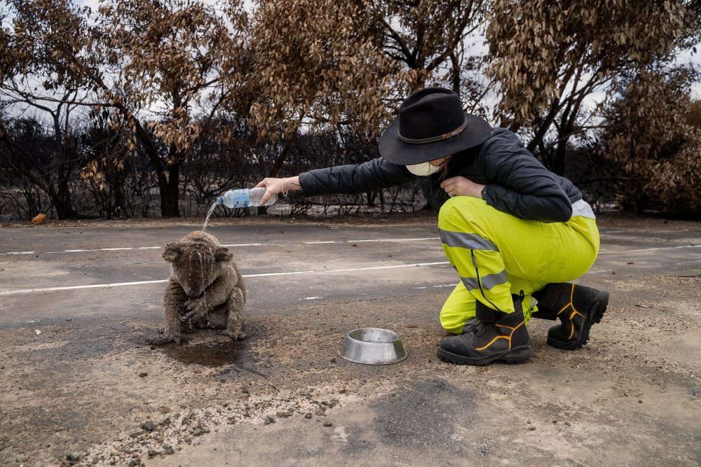 A fire-response volunteer pours water on a koala injured in a bushfire on Kangaroo Island, South Australia, on Jan. 16. It was quickly hustled to a nearby shelter, joining hundreds of other animals receiving care.