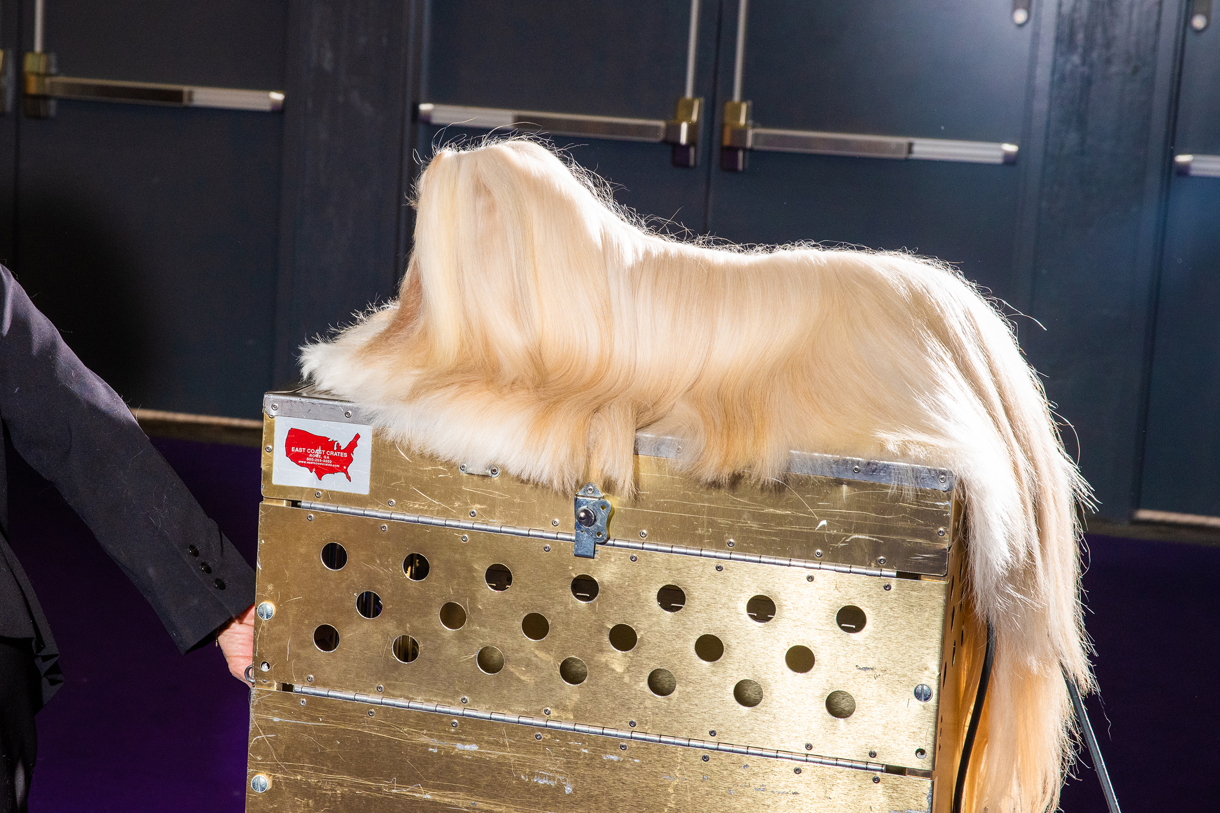 A long-haired Lhasa Apso is wheeled down the runway to the gate of stardom at the Westminster Dog Show in New York City on Feb. 10.