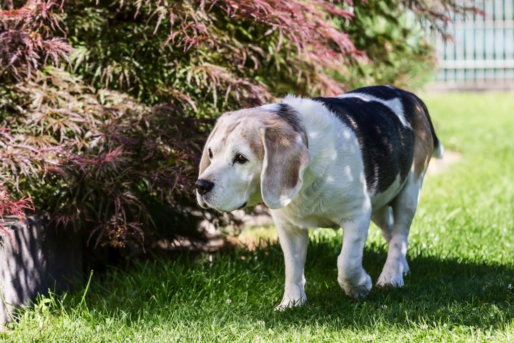 A Beagle is seen in a private garden on July 27, 2020 in Pfullendorf, Germany.