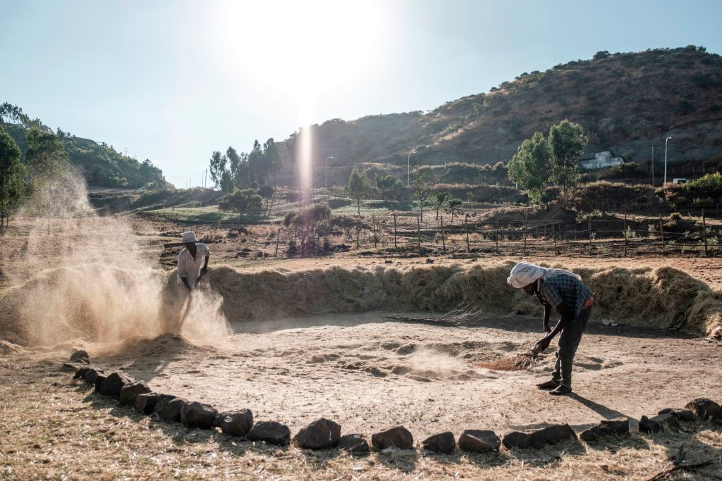 Farmers threshes wheat to loosen the edible grain from the chaff in the outskirts of Gondar, Ethiopia, on November 24, 2020.