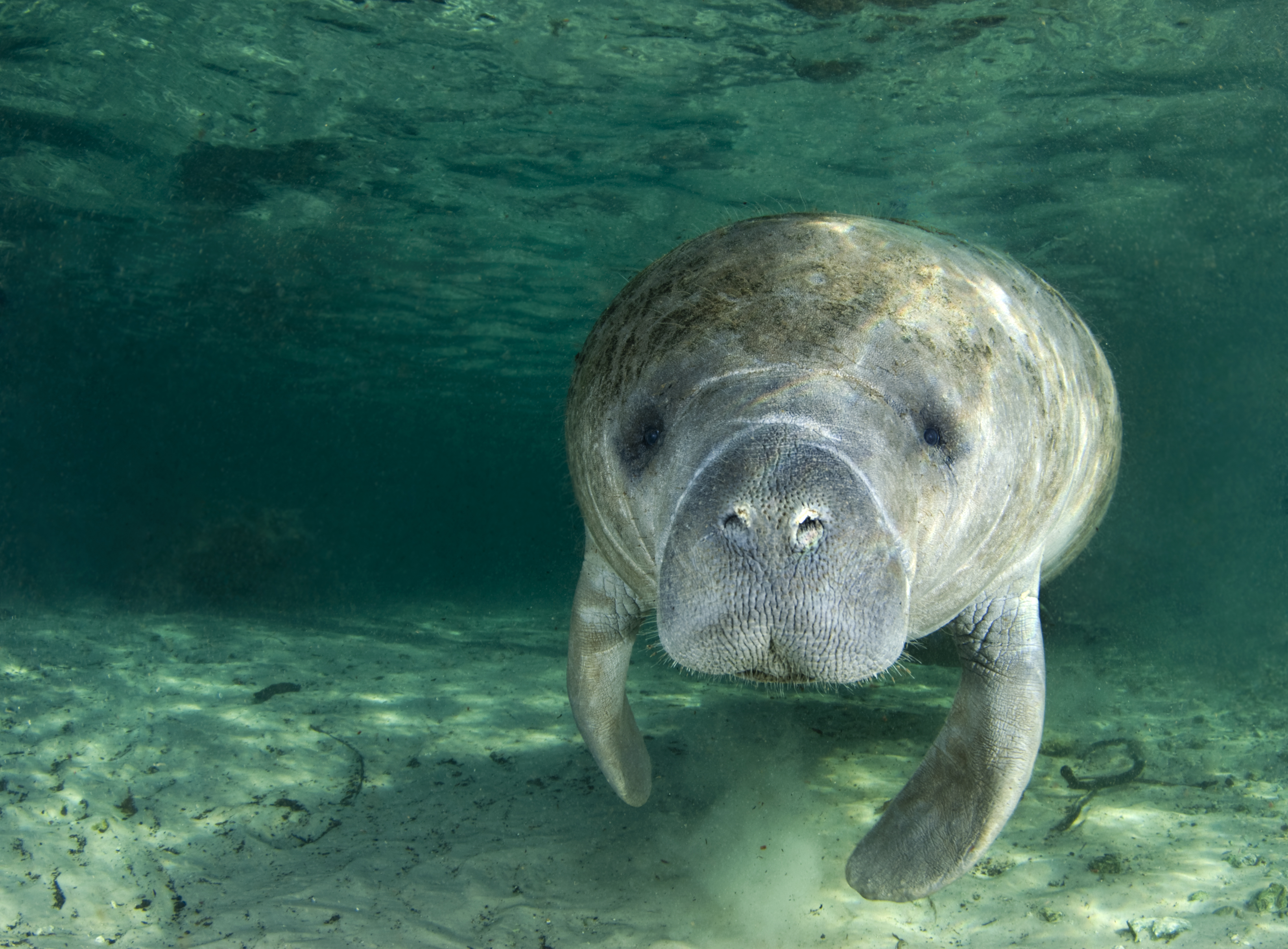 A manatee swims along underwater in the springs of Crystal River, Florida.
