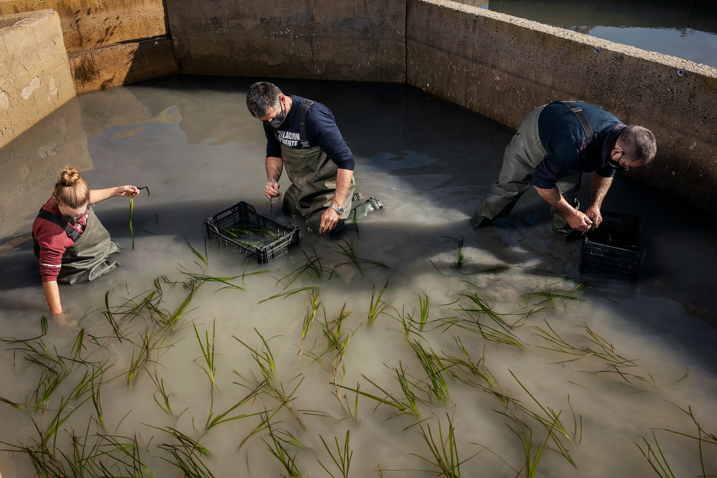 Juan Martín, center, of Aponiente works on the seagrass fields planted near León's restaurant