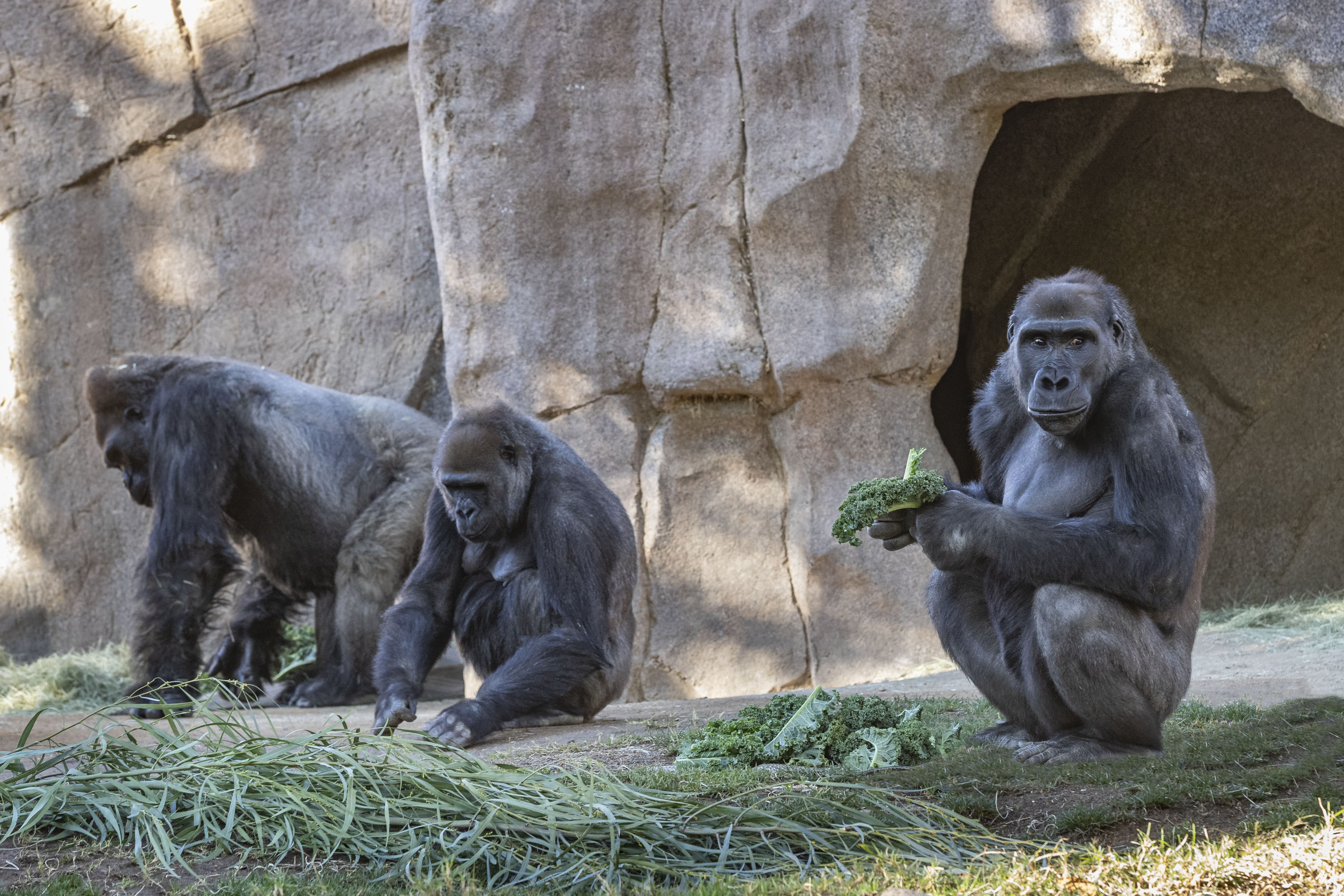 Members of the gorilla troop at the San Diego Zoo Safari Park in Escondido, Calif., are seen in their habitat on Jan. 10, 2021. Several gorillas at the zoo have tested positive for the coronavirus in what is believed to be the first known cases among such primates in the United States and possibly the world. It appears the infection came from a member of the park's wildlife care team who also tested positive for the virus but has been asymptomatic and wore a mask at all times around the gorillas.