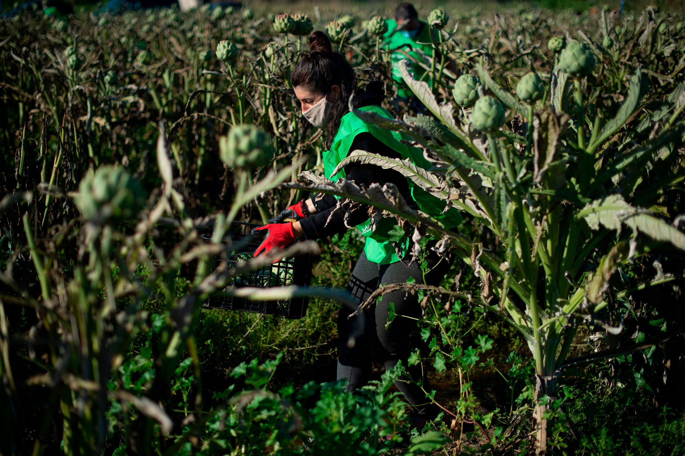 A volunteer in the non-profit organization Espigoladors works on an artichoke field in El Prat del Llobregat, Spain, to reduce food waste by harvesting surplus fruits for soup kitchens in April