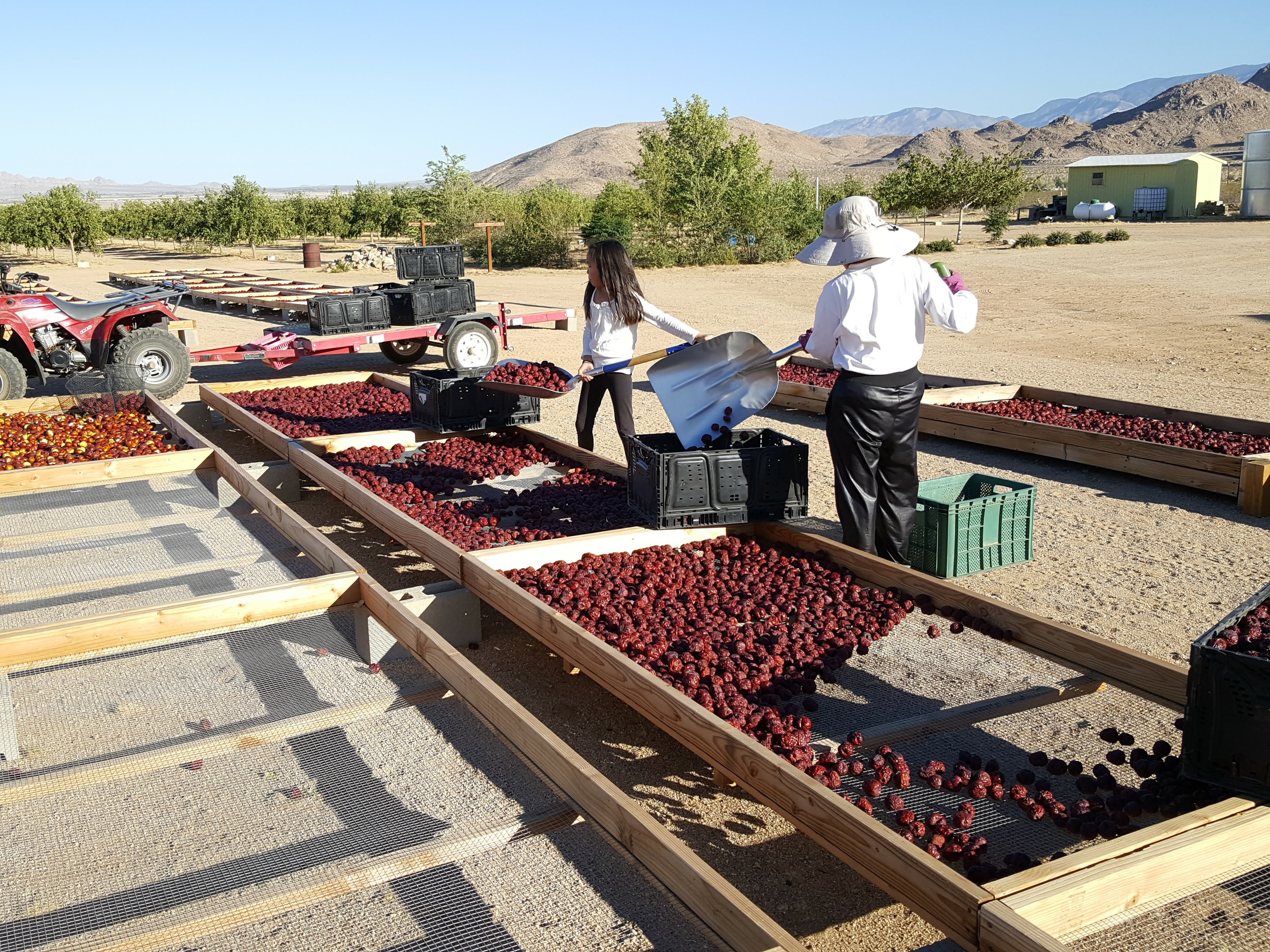 The scene at David Paeng's Serenity Farm in Lucerne Valley, Calif., where he grows jujubes.