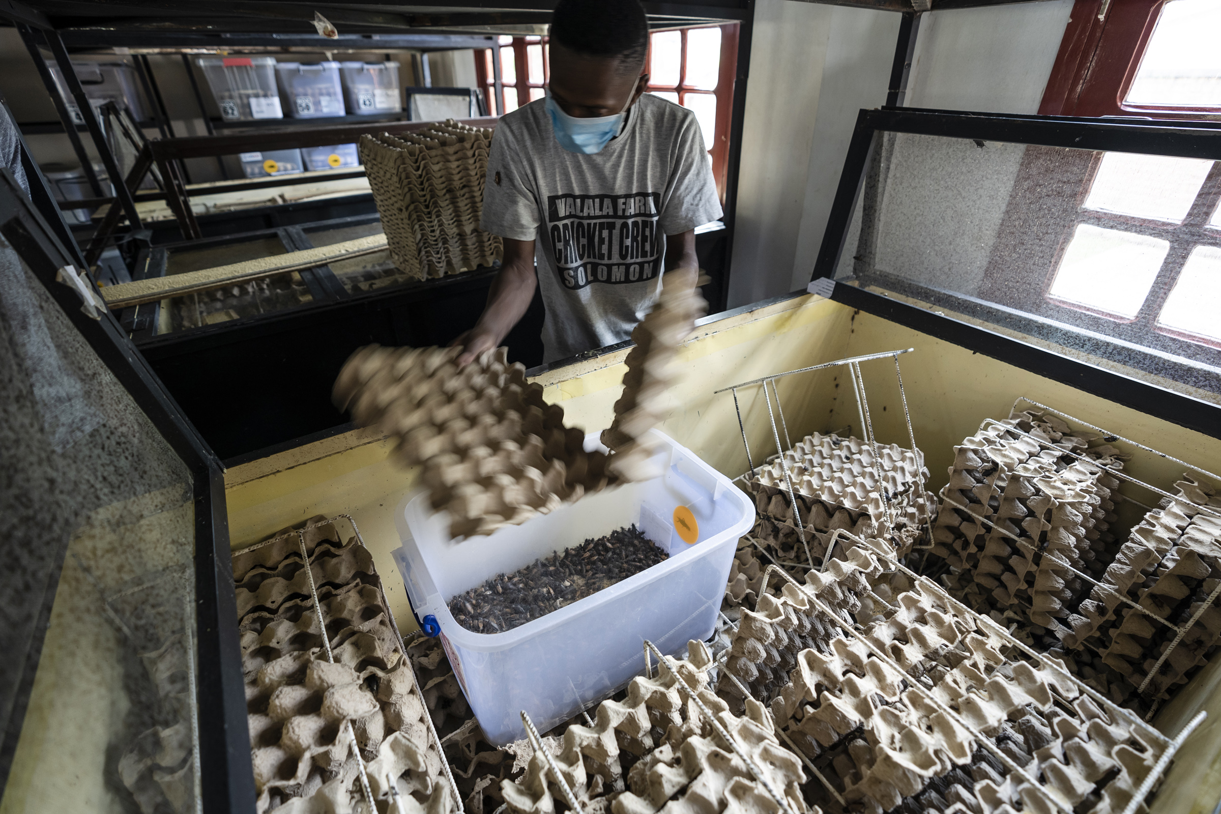 A staff worker harvesting mature adult crickets at Valala Farms in Antananarivo, Madagascar on Nov. 20, 2019.