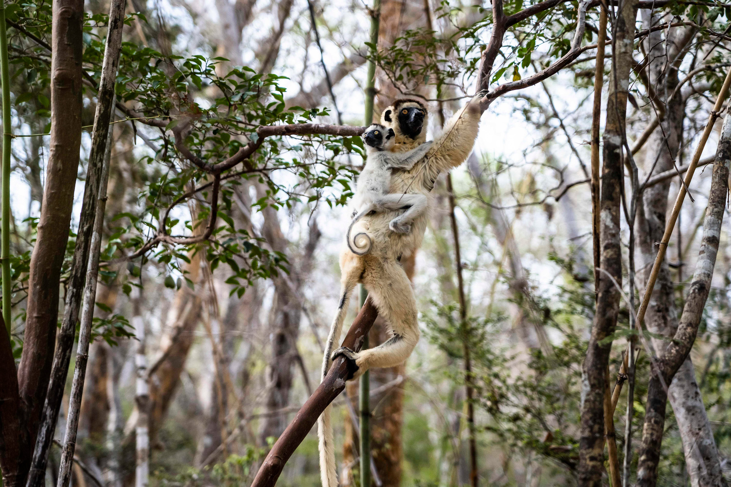 Lemurs in Kirindy Forest, a private reserve along Madagascar's west coast that has suffered profound deforestation in recent years, on Nov. 23, 2019.
