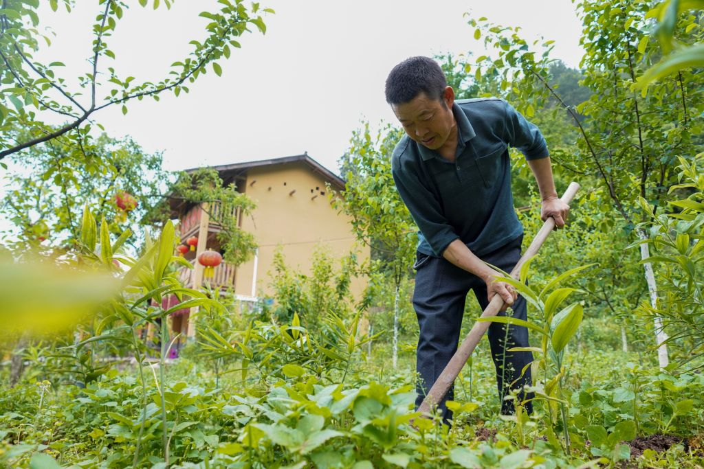 Chen Peng, a villager from an impoverished household, tends a contracted sealwort field in Huaxi Village of Zhongyi Township, Shizhu Tujia Autonomous County, southwest China's Chongqing Municipality, May 8, 2020.