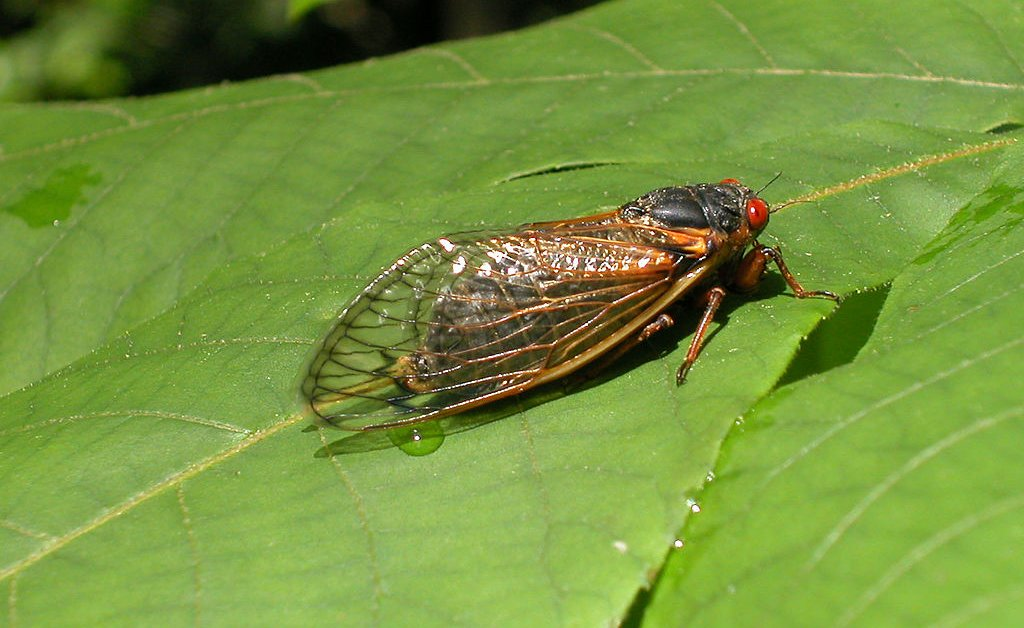 Trillions of 'Brood X' Cicadas Are About to Emerge Across the U.S. to Sing, Mate and Die. Here's What to Expect