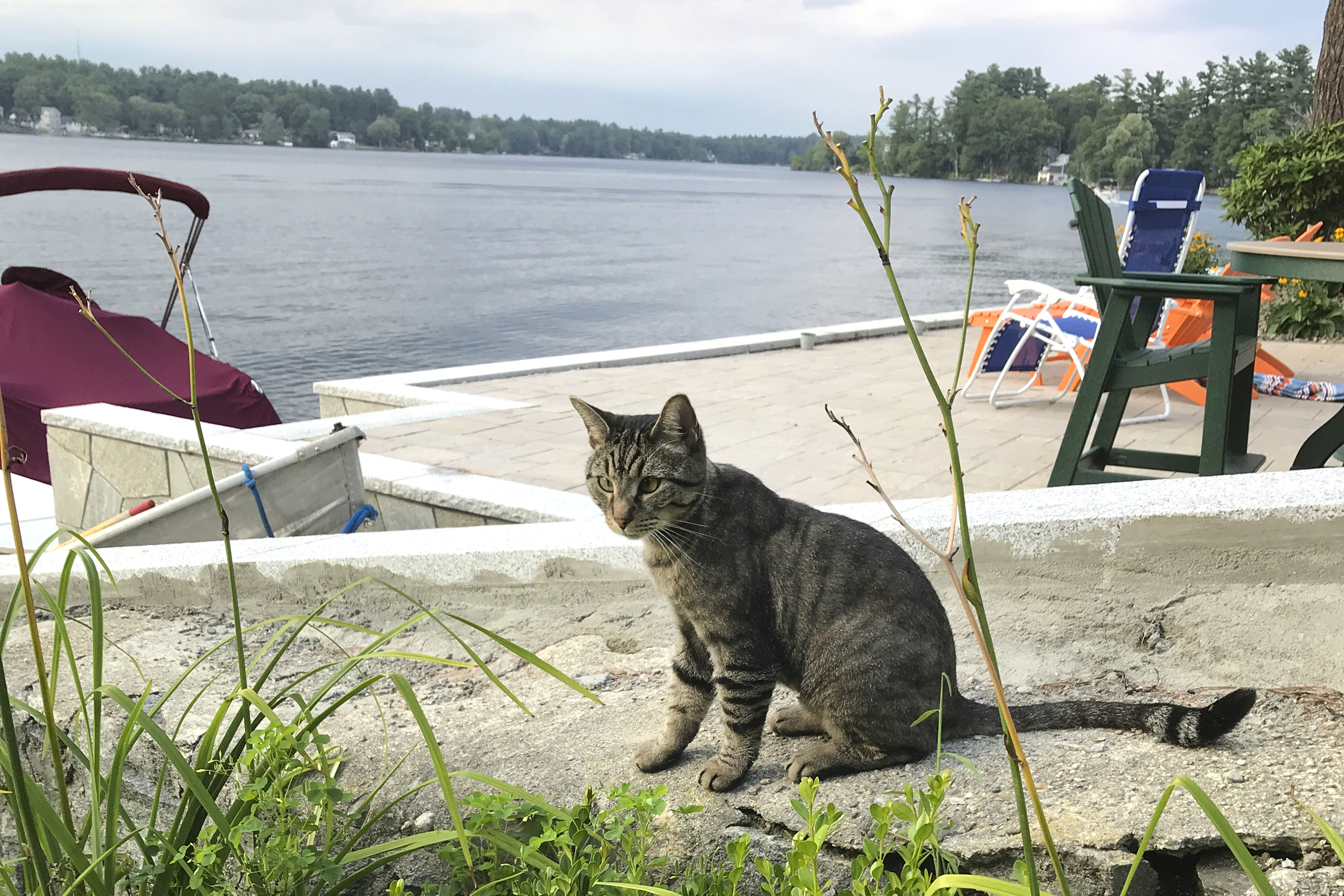 In this July 27, 2018 photo provided by New Hampshire State Rep. Daryl Abbas, Arrow, the cat whose death has inspired legislation to put cats on equal footing with dogs, at least when they are run over. Abbas, is the sponsor of a bill that would require drivers who injure or kill cats to notify police or the animals' owners. The reporting requirement already is in place for dogs.