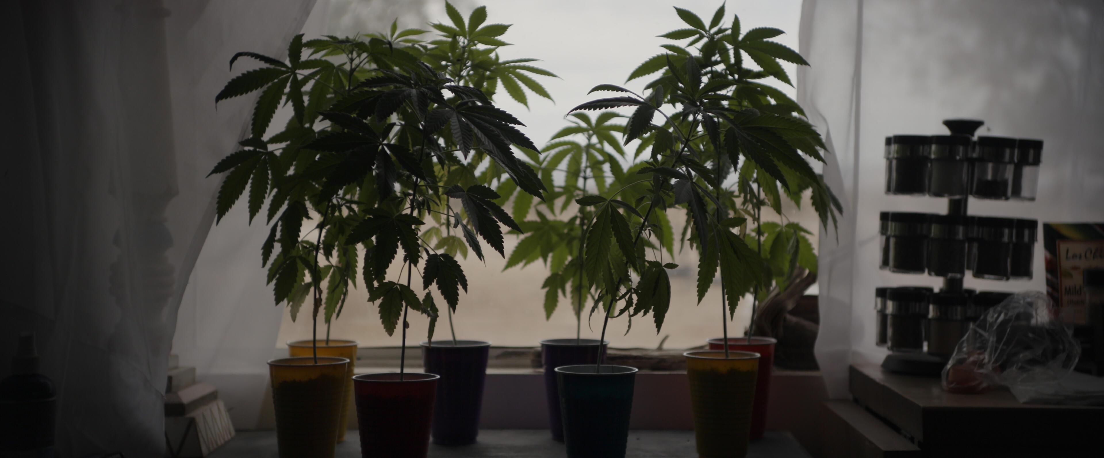 Cannabis plants in a still from 'Sasquatch'