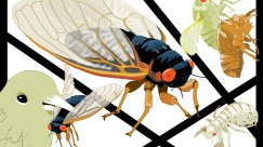 An Animated Guide to This Year's Massive Brood X Cicada Emergence