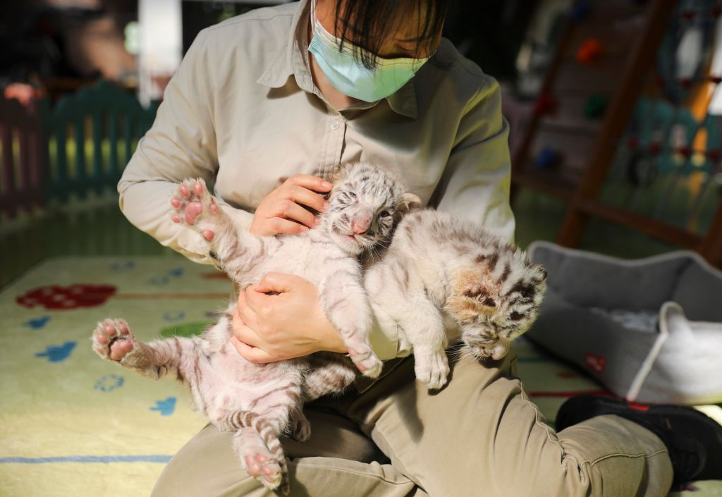 A breeder wearing face mask holds one-month-old white tiger cubs at Beijing Wildlife Park on April 2, 2020 in Beijing, China.