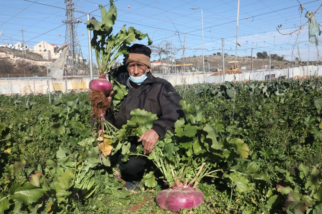 Palestinian farmer Atta Jaber carries a giant turnip that he harvested from his land across from the israeli settlement of Kiryat Arba, in the West Bank town of Hebron, on January 23, 2021.
