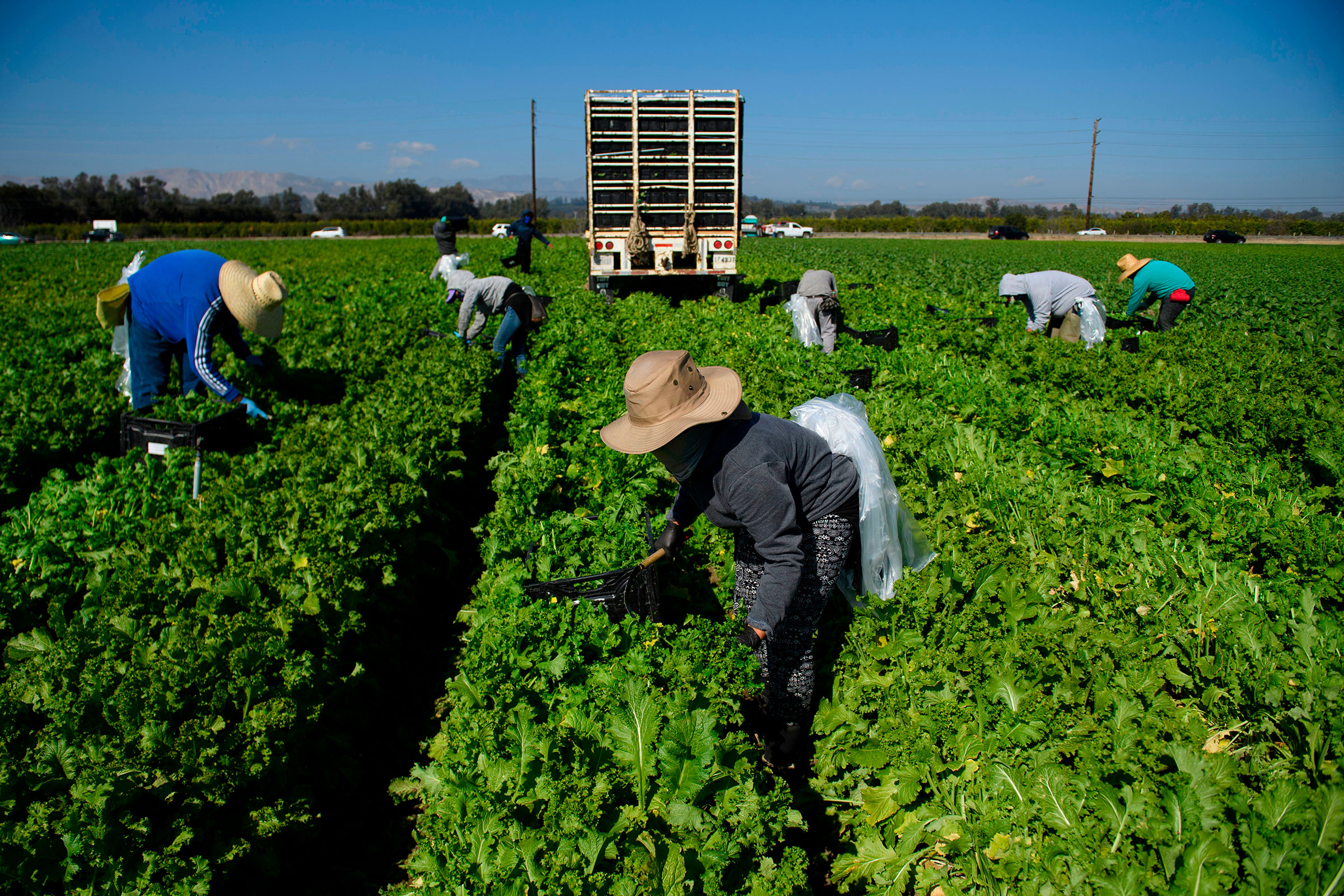 Farmworkers wear face masks while harvesting curly mustard in a field in Ventura County, Calif. on Feb. 10, 2021.