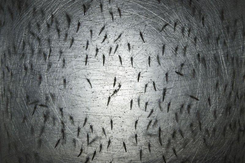 2014 年 8 月 21 日,在距离巴西圣保罗 100 公里的坎皮纳斯,生物技术公司 Oxitec 实验室的一个容器中发现了埃及伊蚊。