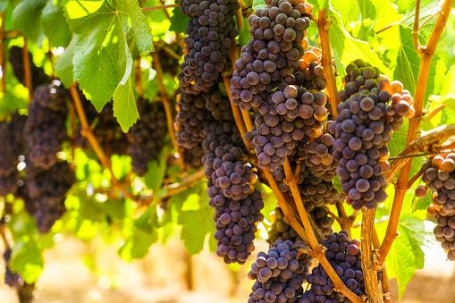 Bushels of pinot noir grapes on the vine