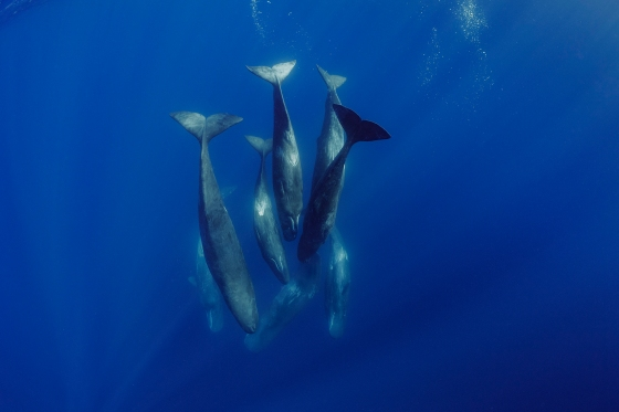 A family unit of sperm whales socializing underwater off the island of Faial in the Azores.
