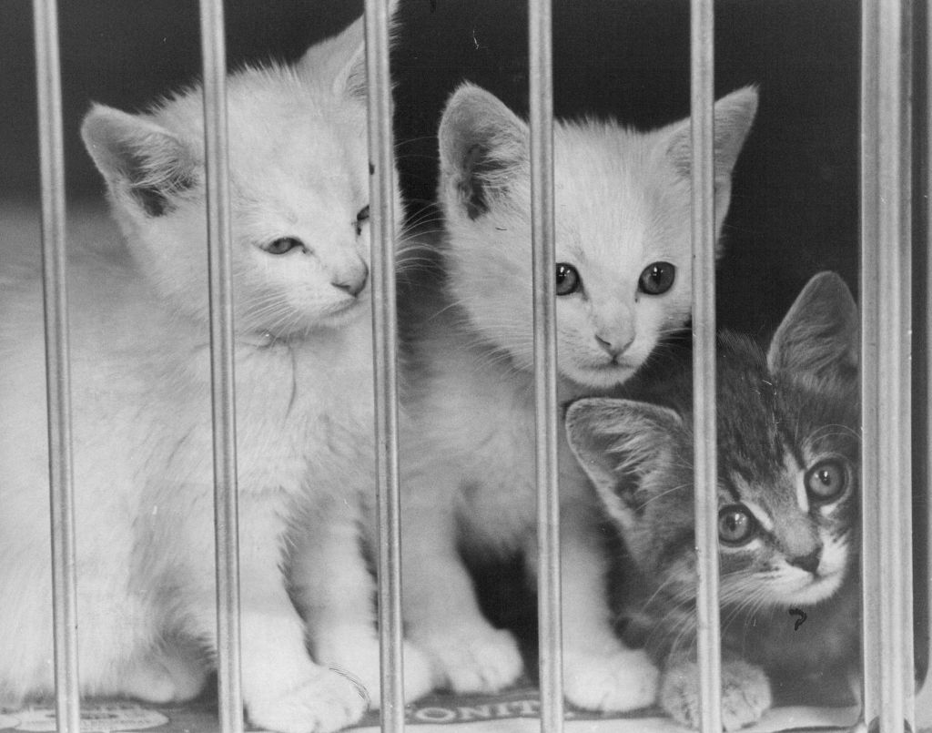 Three abandoned kittens wait for adoption at a shelter in 1972