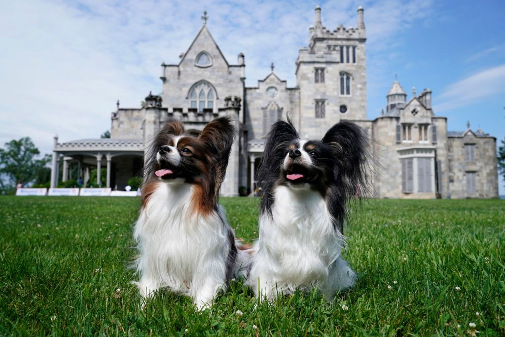 Papillons Taxi and Rebel pose in front of the Lyndhurst castle, at the 145th Annual Westminster Kennel Club Dog Show on June 11, 2021.
