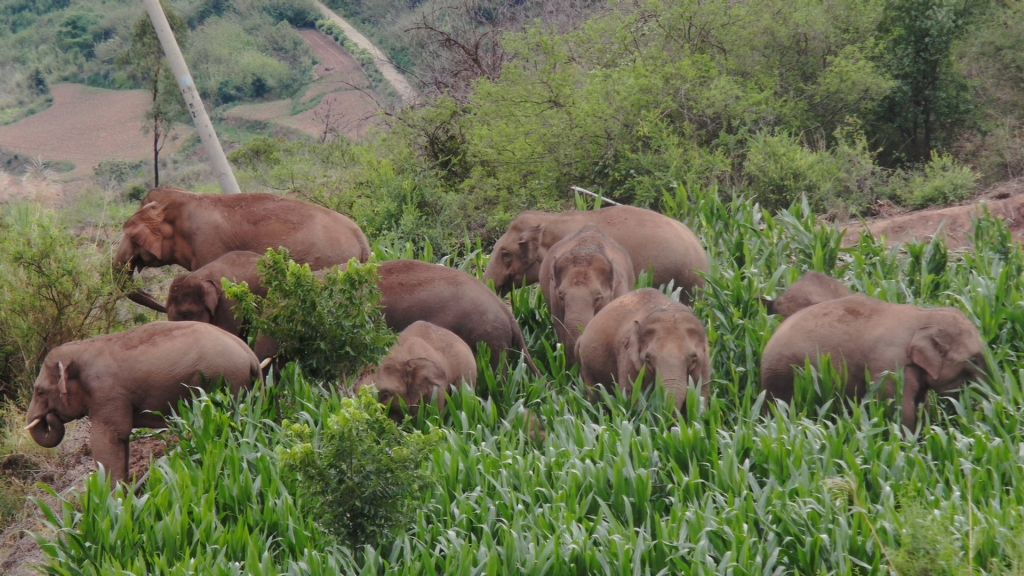 Aerial video clip taken on June 20, 2021 shows the Asian elephants in Dalongtan Township of Eshan County, Yuxi City of southwest China's Yunnan Province.