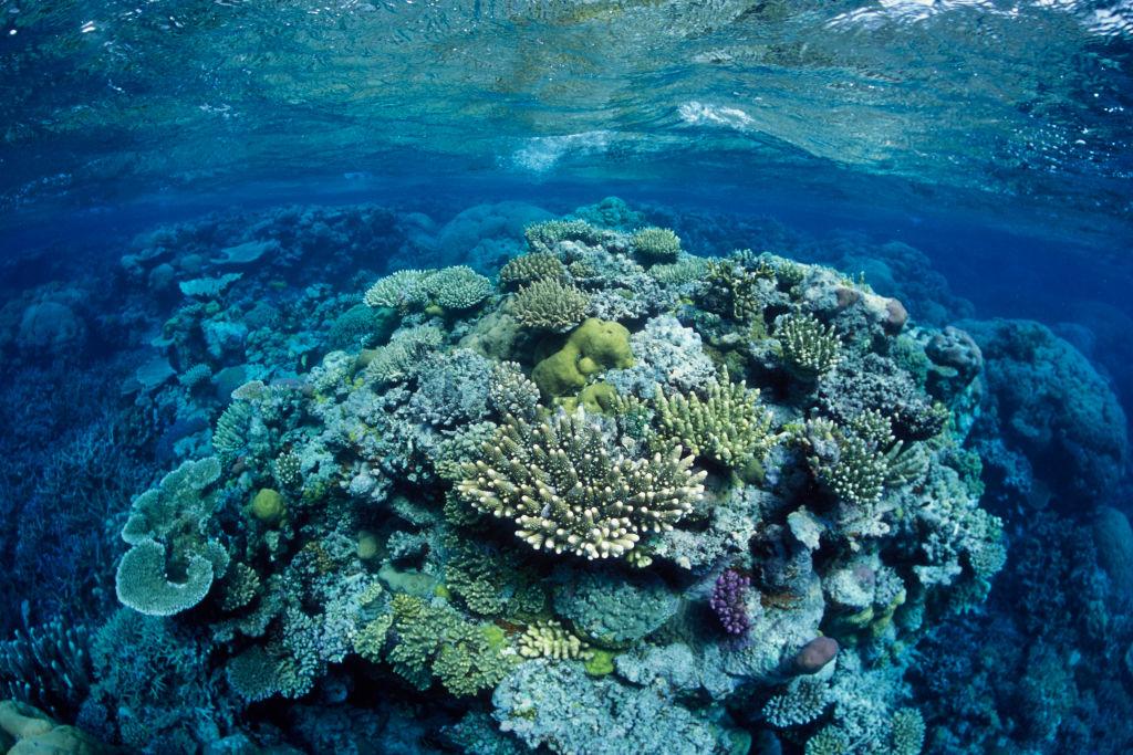 Great Barrier Reef, north-east of Port Douglas, Queensland, Australia, Western Pacific Ocean Coral, mostly of the genus Acropora.