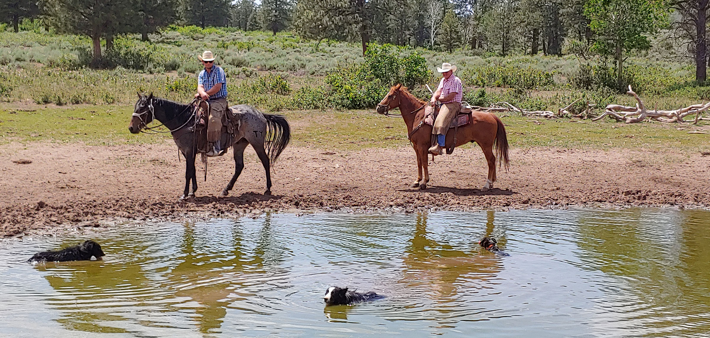 TBone and Kip the cow dogs cool off in a nearly-dry pond after looking for cattle, with Dean and Howard VanWinkle looking on.
