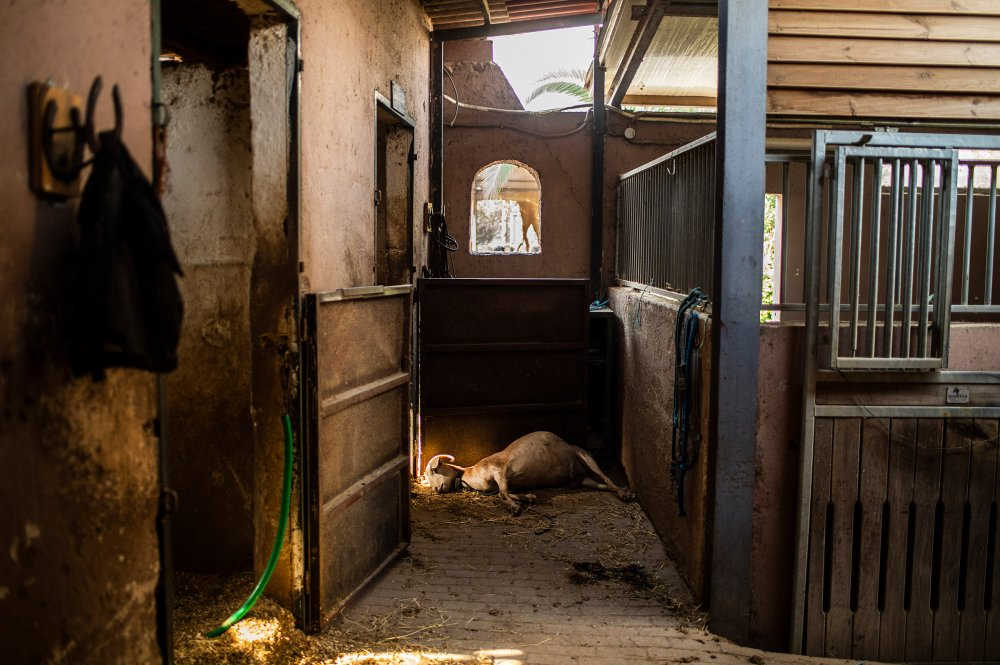 A dead goat lies on the ground in a burnt-out riding club after a forest fire in the Varibobi region of northern Athens, Greece on Aug. 4.